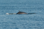 Minke whale - view of back