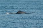 Minke whale - view of back