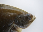 Pseudopleuronectes americanus, winter flounder -head view