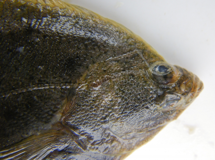 Smooth flounder - head view