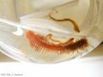 Ceratocephale loveni