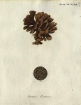 Original Plate of Esper's (1794) Spongia lactuca