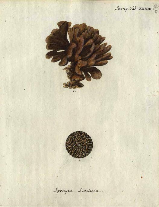Original Plate of Esper's (1794) Spongia lactuca