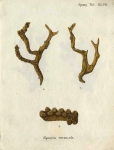 Original Plate of Esper's (1794) Spongia verrucosa