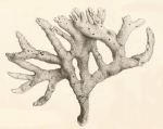 Original Plate of Bowerbank's (1874) Isodictya dissimilis