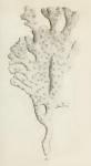 Original Plate of Ellis & Solander's (1786) Spongia palmata.