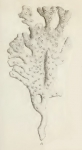 Original Plate of Ellis & Solander's (1786) Spongia palmata.