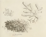 Ellis &amp; Solander's (1786) image of Spongia botryoides