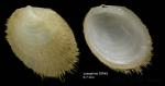 Limopsis minuta (Philippi, 1836)Specimen from Josephine seamount,  36°46'N, 14°17'W, 315-335 m , 'Seamount 1' DW45 (actual zize 6.7 mm)