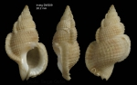 Halgyrineum louisae (Lewis, 1974)Shell from Irving seamount, 31°59.2'N, 27°55.9'W, 460 m, 'Seamount 2' DW209 (actual size 26.2 mm)