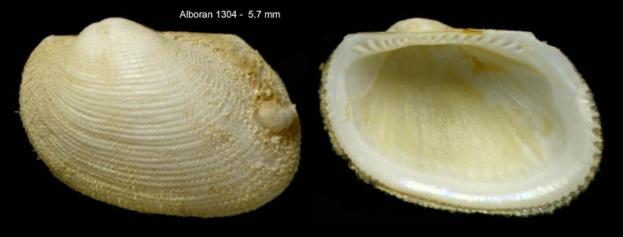 Bathyarca philippiana (Nyst, 1848)Specimen from off Alboran Island (actual size  5.7 mm)