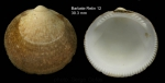 <i>Glycymeris glycymeris</i> (Linnaeus, 1758)</b>Shell from bay of Barbate, southern Spain (actual size 30.3 mm)