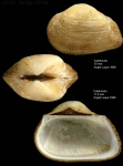 <i>Striarca lactea</i> (Linnaeus, 1758)</b>Shell from Calahonda, southern Spain (actual size 10 and 11.5 mm)