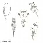 Rotifera (rotifers)