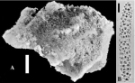Acanthotetilla hemisphaerica