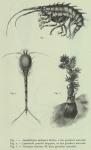 Amathillopsis spinigera, Leptostylis gracilis