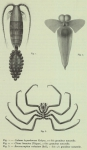 Chelicerata (sea spiders & mites)