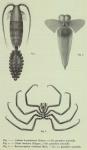 Chelicerata (sea spiders & mites)