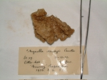 Myxilla (Myxilla) simplex