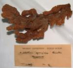 Clathria spongiosa