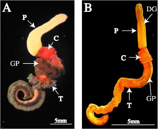 Photographs of live Saccoglossus worms :(A) Saccoglossus bromophenolosus;  (B) Saccoglossus pusillus