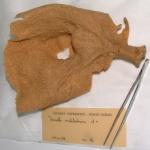 Axinella ventilabrum