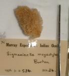 Sigmaxinella megastyla