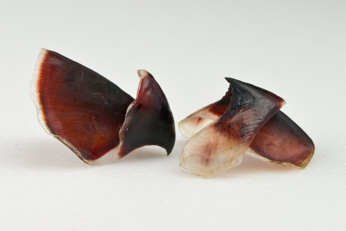 Stauroteuthis syrtensis (pair of beaks)