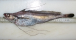 longfin hake-typical