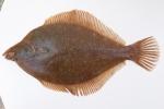 Limanda ferruginea - yellowtail flounder