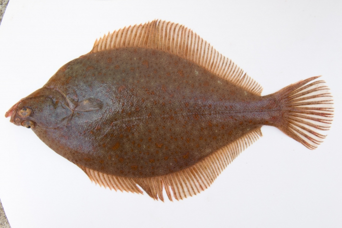 Limanda ferruginea - yellowtail flounder