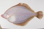 Limanda ferruginea - yellowtail flounder (underside)