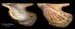 Pteria hirundo (Linnaeus, 1758)Specimen from Malaga harhour, Spain (actual size 80 mm)