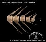 Dissostichus mawsoni (vertebrae)