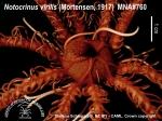 Notocrinus virilis 2