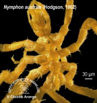 Nymphon australe 1