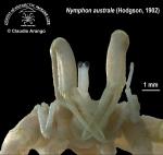 Nymphon australe 2