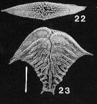 Rugobolivinella elegantula, Holotype