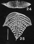 Rugobolivinella elegantula, Paratype