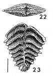 Rugobolivinella spinosa, Holotype