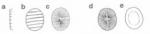 Prymnesium zebrinum