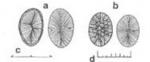 Prymnesium faveolatum