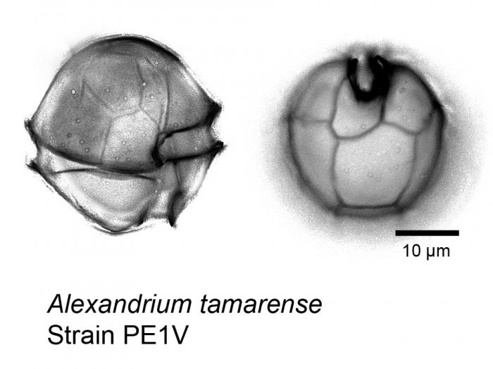 Alexandrium tamarense WE clade