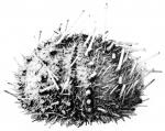 Echinus multidentatus H.L. Clark, 1925, holotype, aboral view