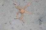 Ophiacantha bidentata in nature