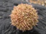 Echinodermata (Echinoderms)