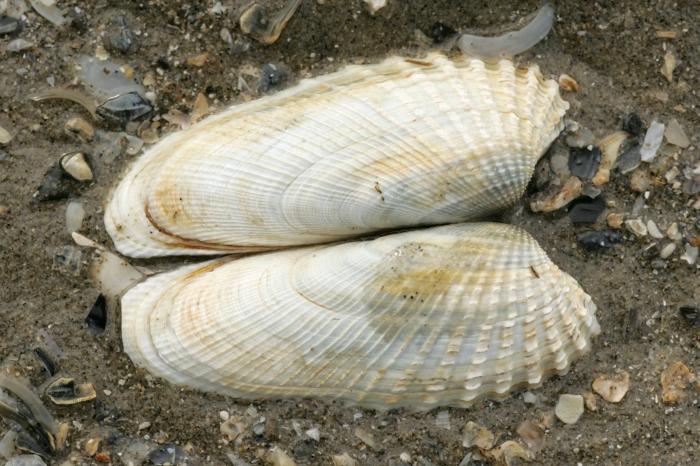 Shells American piddock