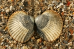 Shells cockle