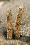 Schelpkokerworm