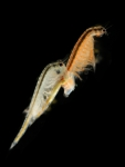 Artemia salina (Linnaeus, 1758) 